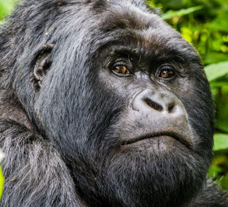 Congo Virunga Silverback