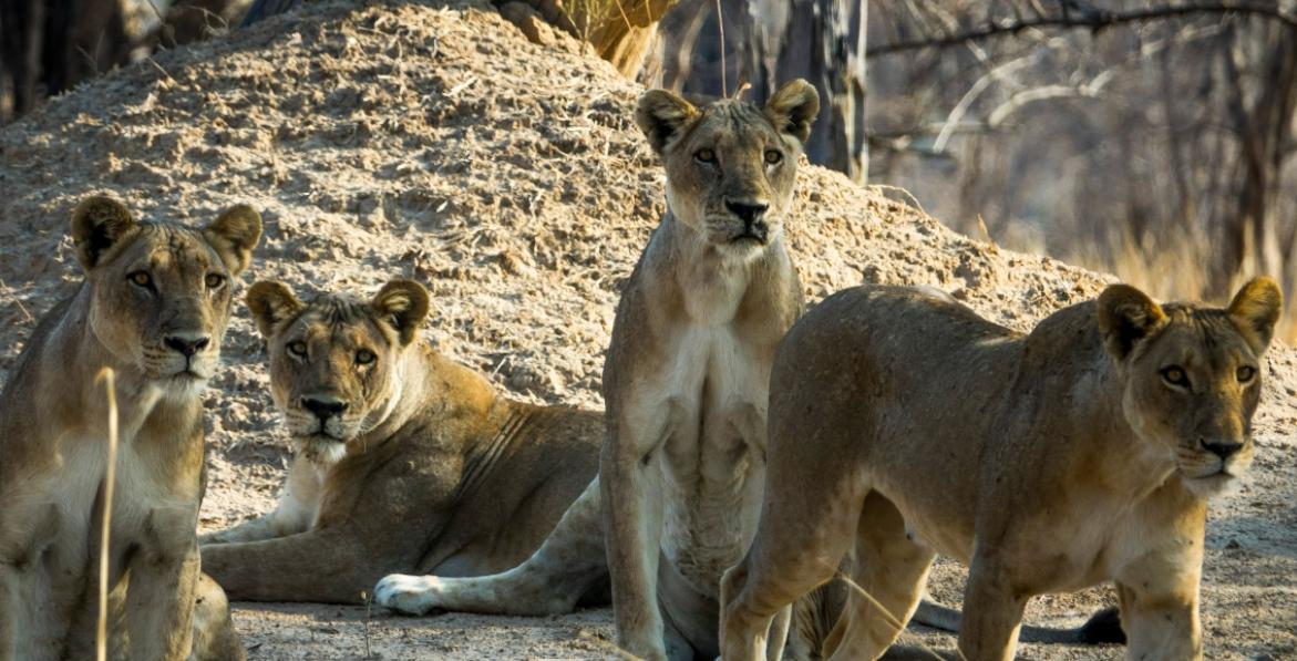 Troep leeuwinnen