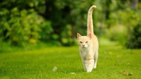 Pourquoi mon chat remue la queue rapidement, découvrez la réponse