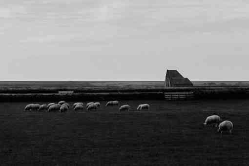 Grasende Schafe in ebener Landschaft, gerader Horizont, Stall im Hintergrund
