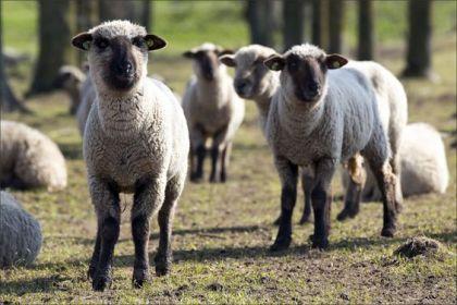 Duitse zwartkop schapen