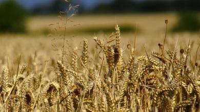 صورة القمح العُماني… الأرقام تتزايد إنتاجًا ومساحةً
