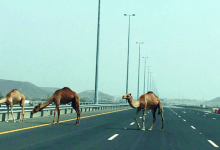 Photo of ما موقف القانون العُماني من خطر الحيوانات السائبة؟