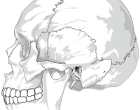 Human skull (side view)