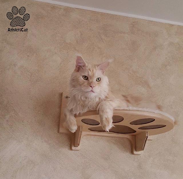 Umarth Main Coon on wooden cat shelf