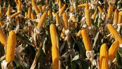 Para este año se prevé una producción estimada de maíz de un millón 700 mil toneladas; Michoacán, cuarto productor nacional del grano, expone el secretario Francisco Huergo Maurin