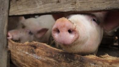 cerdos, carne de cerdo