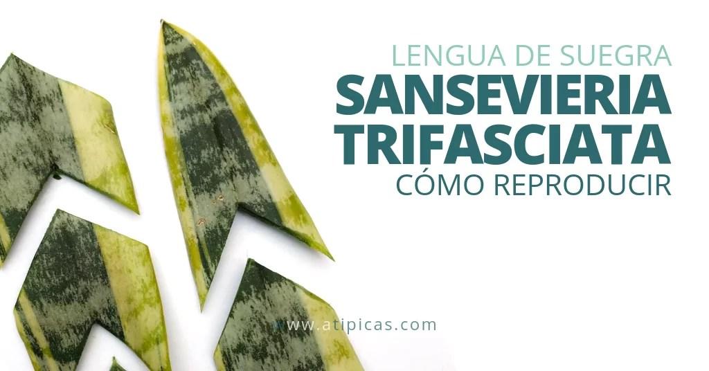 Cómo reproducir la Sansevieria trifasciata