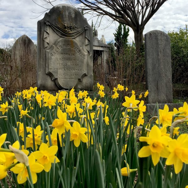 yellow daffodils at historic oakland cemetery