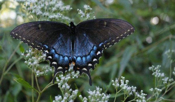 blue-winged butterfly on flowers