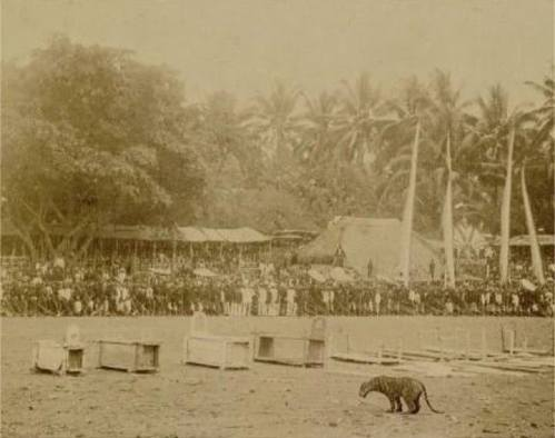 Garangnya 'Rampogan Macan', Gladiator Ala Jawa …