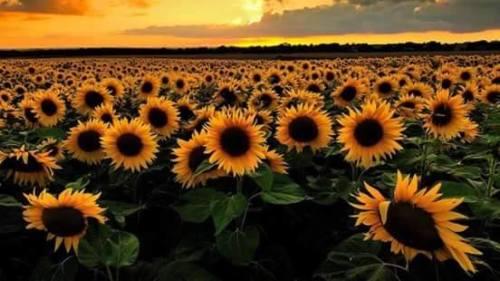 Tanaman Ajaib – Bunga Matahari. …