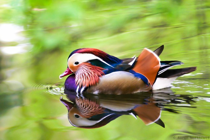 The Mandarin Duck _ Aaron Northcott