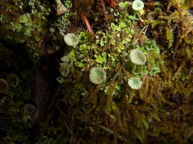 Anins-lichen sur humus
