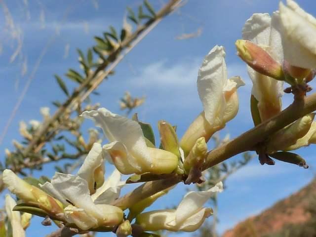 Cytise blanc