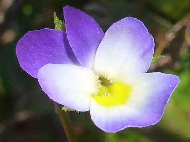 violette tricolore