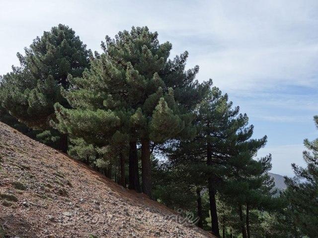 reboisement de Tadmant, arbres
