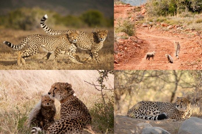 The spirit of Sibella the cheetah lives on with the birth of grand-cubs