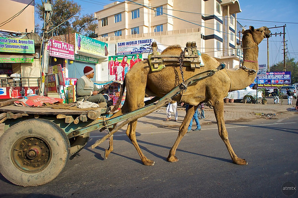 Camel Cart - Agra, India