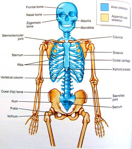 where is the hyoid bone located, smallest bone in your body, what is the smallest bone in the human body, what is the hardest bone to break, what is the strongest bone in the body, the longest and heaviest bone in the body is the,