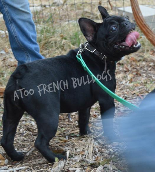 Older French Bulldogs For Sale in Texas