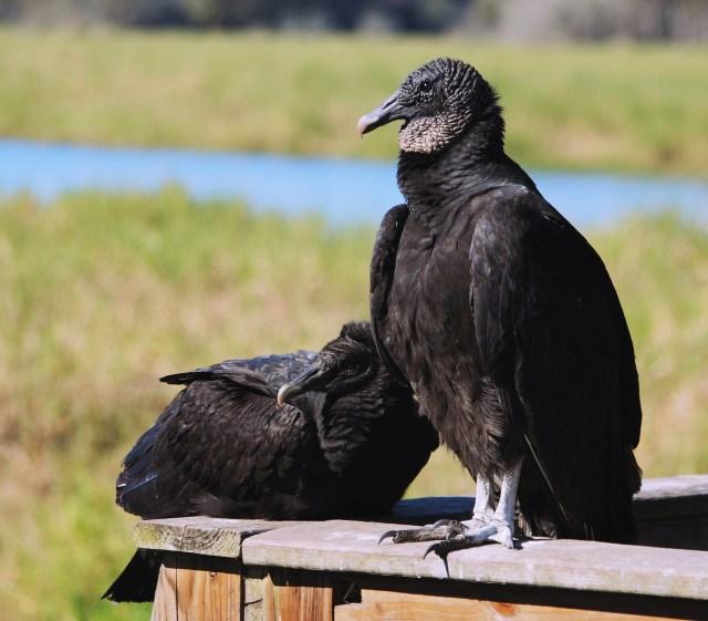 vulture_fotor