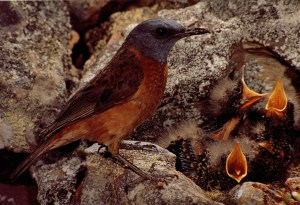 A mama bird struggles to feed her babies.