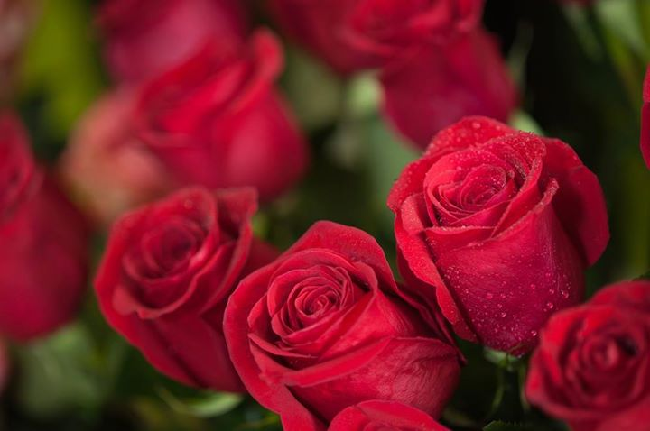 Perchè le rose si regalano in numero dispari?
