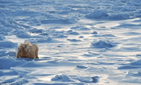 1409436247087_wps_26_Polar_bear_family_on_Arct 2