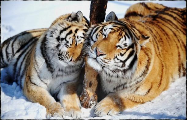 2015-Tigre-1