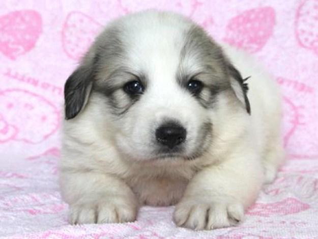 グレートピレニーズ(ピレニアン)ブリーダー子犬販売情報