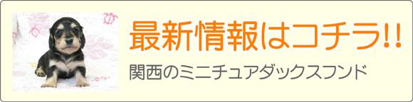 関西ミニチュアダックスフンドブリーダー最新子犬販売情報