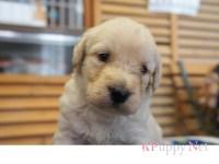 三重県(関西)ラブラドゥードル子犬|2015.5.20生・クリーム・メス|ID: 150615171839