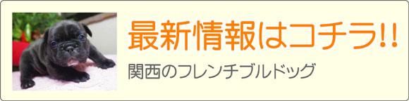 関西フレンチブルドッグブリーダー子犬販売情報