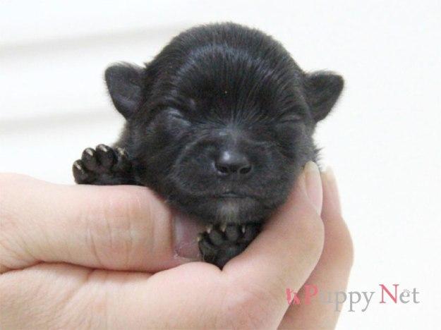 ポメラニアン子犬・ブラック・オス
