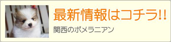 関西ポメラニアンブリーダー最新子犬情報