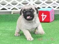 滋賀県(関西)パグ子犬|2015.7.9生・フォーン・オス|ID:150725162103