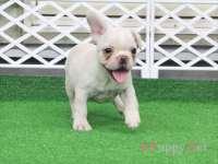滋賀県(関西)フレンチブルドッグ子犬|2015.7.4生・クリーム・メス|ID:150725172211