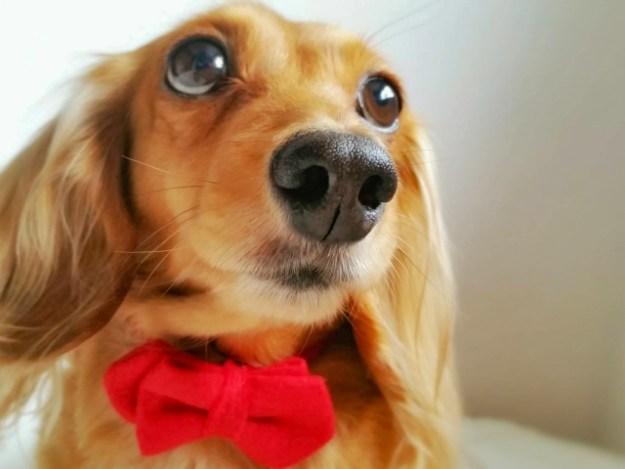 ミニチュアダックスフンドブリーダー子犬販売情報