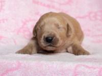 ゴールデンレトリーバー子犬|2021.5.10生・7兄妹|事前問い合わせ者専用ページ