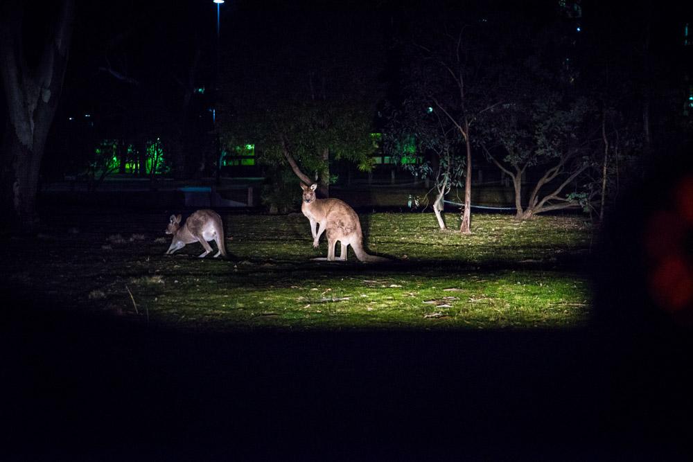 Illustration de l'Australie autrement : Kangourous à Canberra