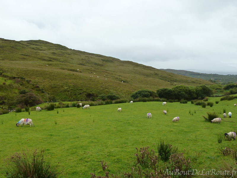 Moutons a Staigue Fort