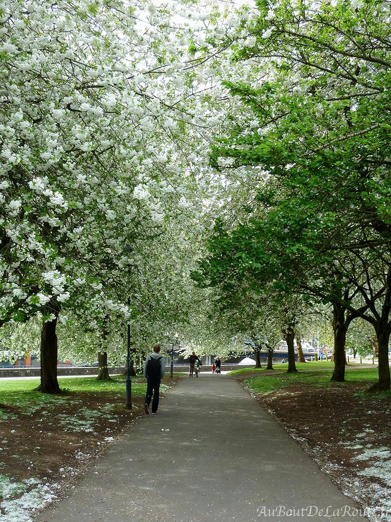 Allee de cerisiers en fleurs