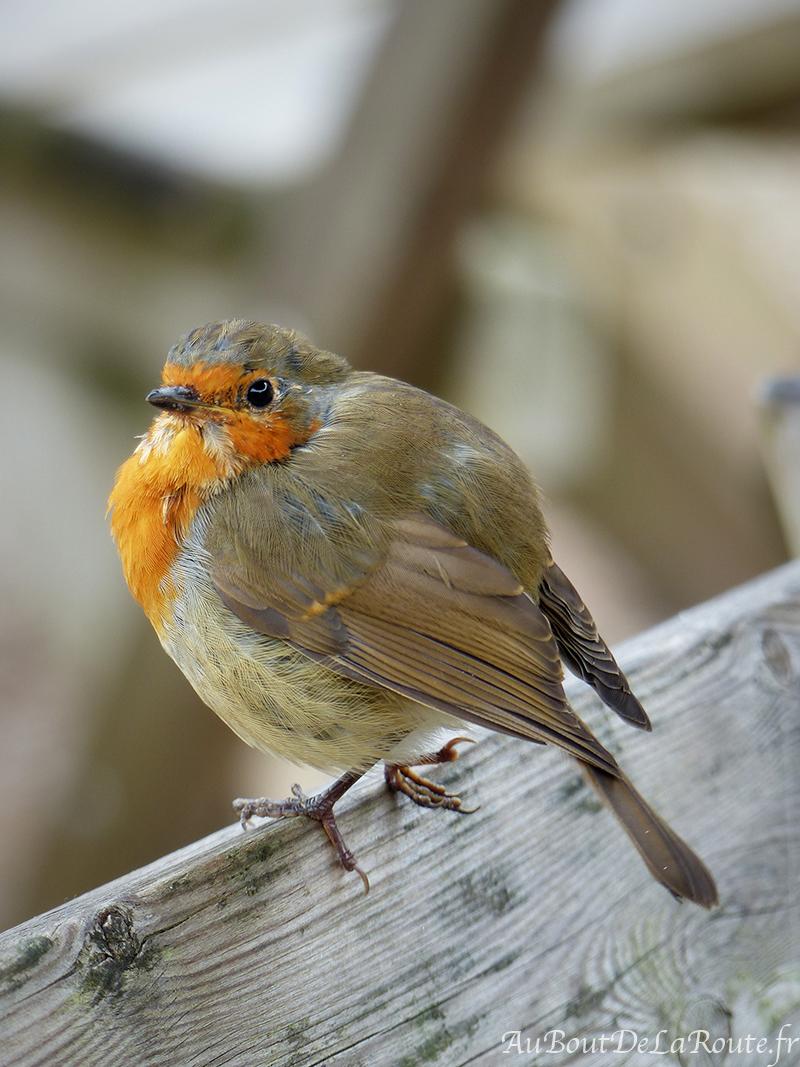Oiseau-Buckland