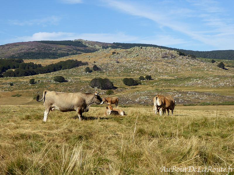 Vaches-Lozere