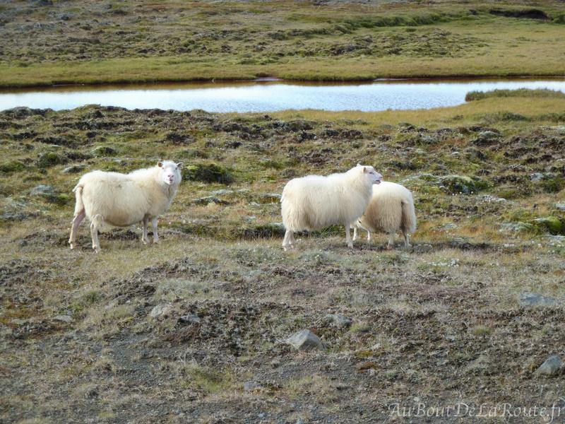 Moutons sur la piste de Kjölur