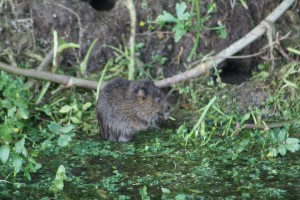 water-vole-eating