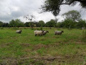 coloured ryeland flock new field