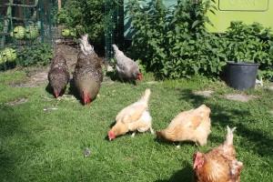 hens-merging-1