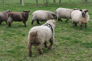 ginger-coloured-ryeland-ram-runs-to-ewes